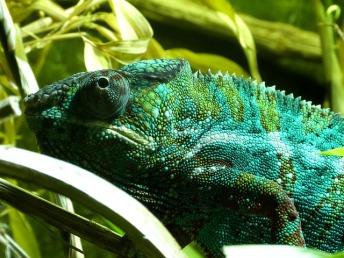 chameleon-cyan-kunstlicht